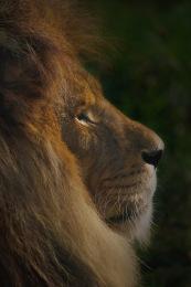 Lion2.