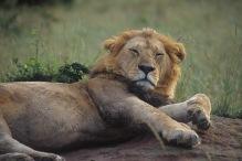 Lion3.