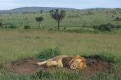 Lion4.