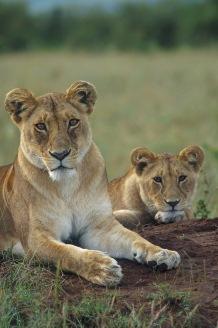 Lions.