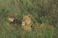 Lions3.