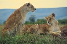 Lions4.
