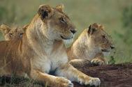 Lions5.
