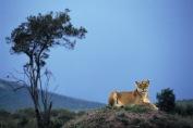 Lions6.