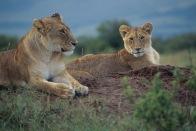 Lions7.
