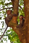 Macaques.