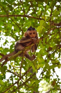 Macaques2.