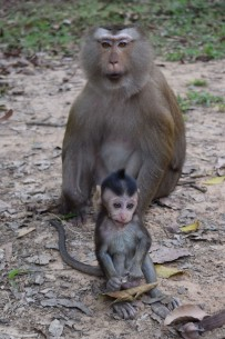 Macaques3.