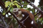 Mona Monkey.