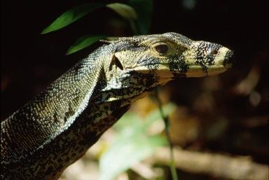Monitor Lizard2.
