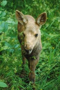Moose2.