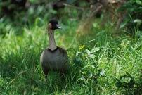 Nene Goose.Hawaii