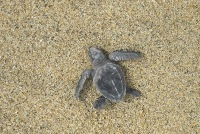 Olive Ridley Turtle.