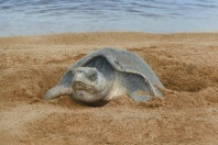 Olive Ridley Turtle2.