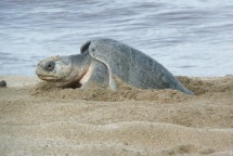 Olive Ridley Turtle3.