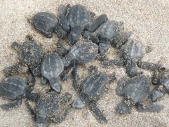 Olive Ridley Turtles.