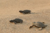 Olive Ridley Turtles2.