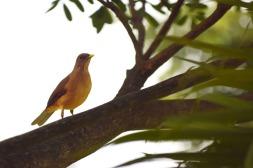 OrangeBird.