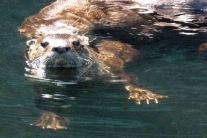 Otter.