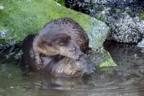 Otters.