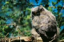 Owl Chick1
