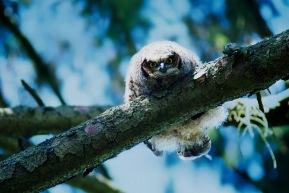 Owl Chick2