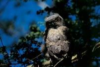 Owl Chick3