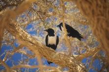 Pied Crow.