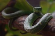 Pit Viper Snake.