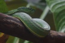 Pit Viper Snake2