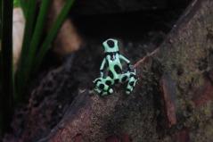 Poison Dart Frog2.