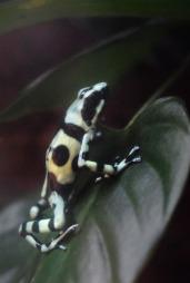 Poison Dart Frog3.