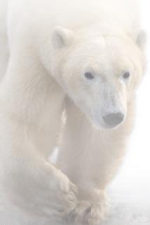 PolarBear2.