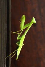 Praying Mantis2.