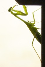 Praying Mantis3.