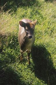 Pudu Deer.