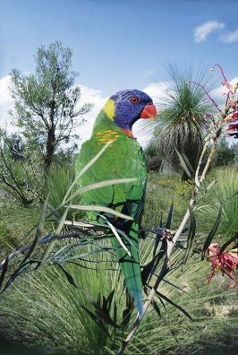 RainbowLorikeet.