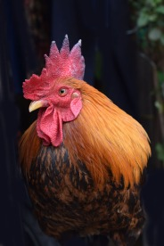 Rooster.