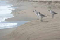 Sandpipers.
