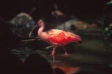 Scarlet Ibis.