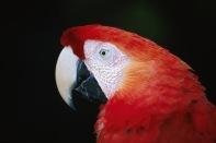 Scarlet Macaw2.