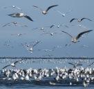 Seagulls2.