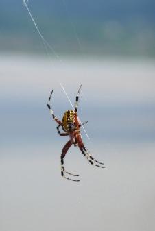 Spider.