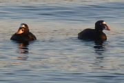 Surf Scoters.