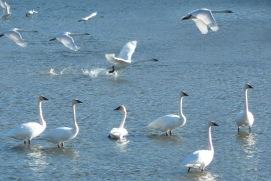 Swans.