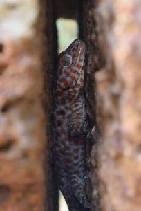 Tokay Gecko.