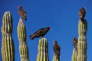 Vultures2.