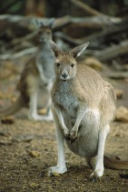 Wallaby6.