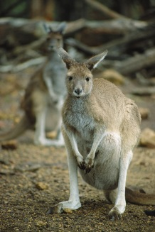 Wallaby6.