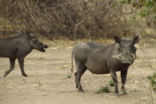 Warthogs.